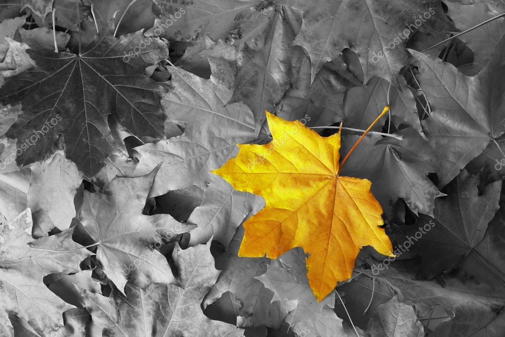 depositphotos 89249234 stock photo yellow maple leaf among black
